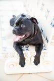 Cane di Staffordshire bull terrier che si trova su un banco di pietra Fotografia Stock