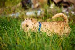 Cane di Terrier che cammina attraverso l'erba alta nel campo Fotografia Stock