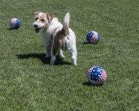 Cane di Terrier con le palle Fotografie Stock Libere da Diritti