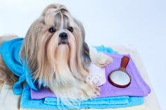 Cane di tzu di Shih dopo avere lavato fotografia stock libera da diritti