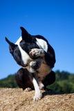 cane di ubicazione con la zampa sull'occhio Fotografia Stock