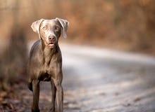 Cane di Weimaraner fotografia stock