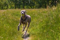 Cane di Weimaraner che corre nei campi con una palla nella sua bocca immagine stock