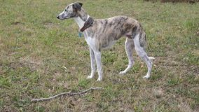 Cane di Whippet stock footage