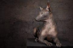 Cane di Xoloitzcuintle Fotografie Stock Libere da Diritti