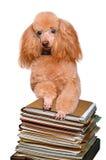 Cane dietro una pila alta di libri Fotografie Stock