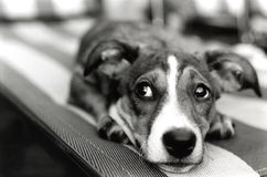 Cane difettoso Fotografie Stock