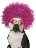 Cane divertente, afro del bulldog, isolato fotografie stock