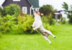 Cane divertente al cortile posteriore che gioca e che salta su Immagine Stock