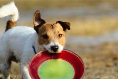 Cane divertente che gioca con il disco di plastica al giorno di molla soleggiato Immagini Stock