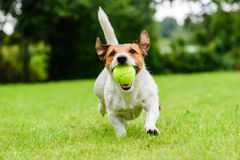 Cane divertente con pallina da tennis in mandibole che giocano al prato inglese Immagini Stock