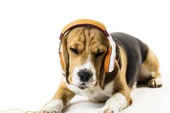 Cane divertente del cane da lepre con le cuffie che ascolta la musica immagine stock