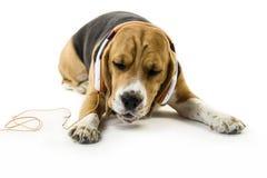 Cane divertente del cane da lepre con le cuffie che ascolta la musica fotografia stock libera da diritti