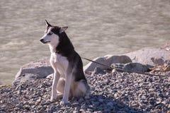 Cane divertente del husky sul guinzaglio che si siede vicino al lungomare Immagini Stock Libere da Diritti