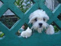 Cane divertente sveglio del bichon che guarda dalla sua iarda Immagini Stock