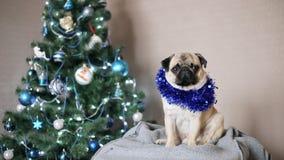 Cane divertente sveglio del carlino nel vestito di Natale che esamina macchina fotografica sul fondo dell'albero di Natale Natale archivi video