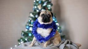 Cane divertente sveglio del carlino sul fondo dell'albero di Natale nel vestito del nuovo anno ed esaminare macchina fotografica  stock footage