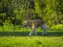 Cane/documentalista dorato che cammina nella sosta Immagini Stock