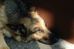 Cane dolce Immagini Stock