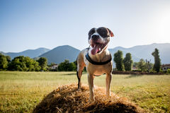 Cane domestico che sta sul fondo della campagna del mucchio di fieno fotografia stock libera da diritti