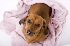 Cane dopo il bagno Fotografie Stock Libere da Diritti