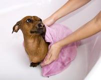 Cane dopo il bagno Immagine Stock