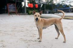 Cane dorato dei peli che sta sulla sabbia bianca alla spiaggia Fotografie Stock