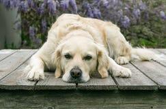 Cane dorato di Retreiver che mette su piattaforma con la testa giù Fotografia Stock Libera da Diritti
