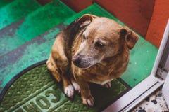 Cane dorato sull'scale fotografia stock