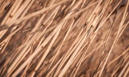 Cane dry autumn background Stock Photography