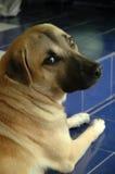 Cane in dubbio fotografie stock