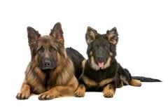 Cane e cucciolo di pastore tedesco Fotografie Stock