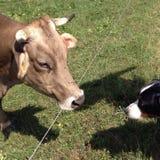 Cane e mucca Immagini Stock