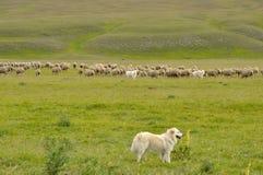 Cane e pecore del parco nazionale di sasso di Gran immagine stock