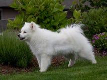 Cane eschimese bianco della razza Fotografia Stock Libera da Diritti