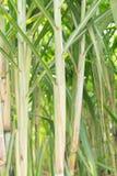 Cane farm Stock Image