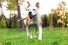 Cane felice che cammina con la palla nella sua bocca immagine stock