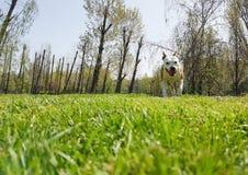 Cane felice che gioca con la palla su erba verde fotografie stock libere da diritti