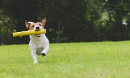 Cane felice che gioca e che va a prendere il bastone del giocattolo al cortile posteriore Fotografie Stock