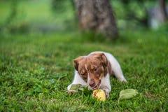 Cane felice che mangia mela su breve erba Fotografia Stock Libera da Diritti