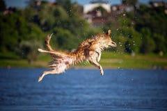 Cane felice che salta su nell'acqua Fotografie Stock