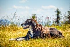 Cane felice che si trova sull'erba Immagini Stock Libere da Diritti