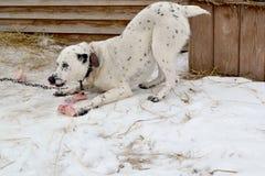 Cane felice con le ossa di cane Fotografie Stock Libere da Diritti