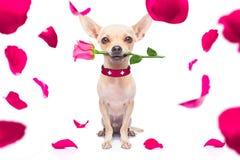 Cane felice dei biglietti di S. Valentino immagine stock libera da diritti