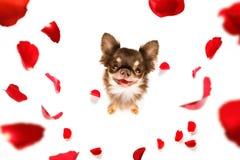 Cane felice dei biglietti di S. Valentino immagine stock
