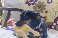 Cane felice del pinscher Fotografia Stock Libera da Diritti