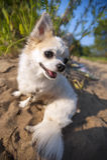 Cane felice della chihuahua sul paesaggio solare di estate Fotografie Stock