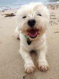 Cane felice della spiaggia sabbiosa fotografia stock