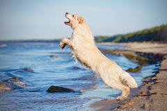 Cane felice di golden retriever al mare Immagine Stock