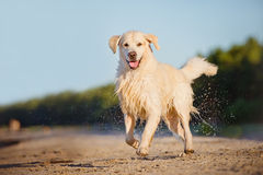 Cane felice di golden retriever al mare Immagini Stock